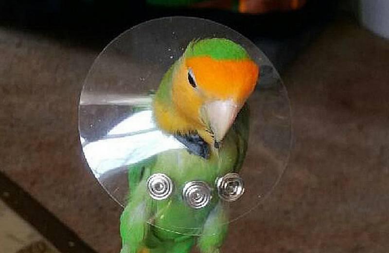 Cara mengatasi Lovebird mencabuti bulu (birdsupplies.com)