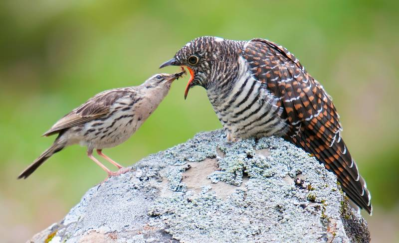 Fakta Menarik Burung Kedasih (shanghaibirding.com)