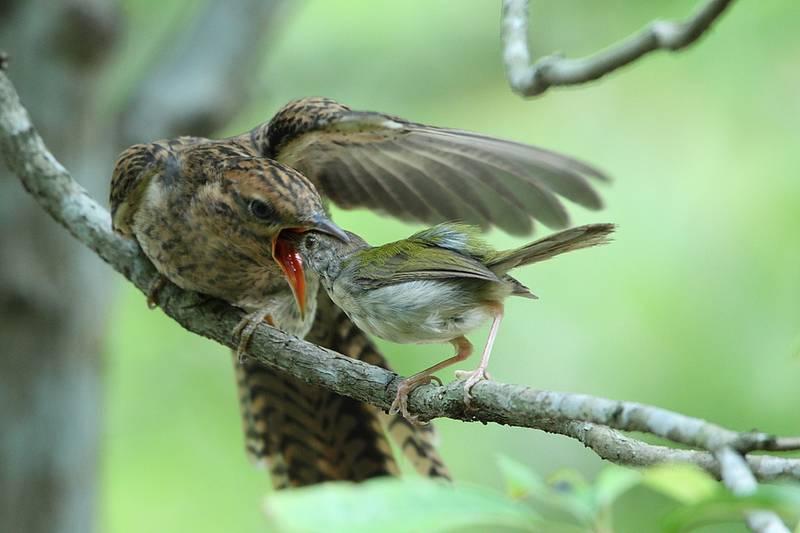 Gambar Burung Kedasih Jahat (flickr.com)