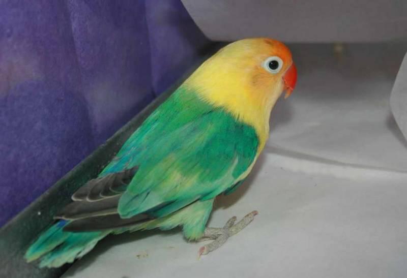 Cara Mencetak Lovebird Parblue (rosemead.americanlisted.com)