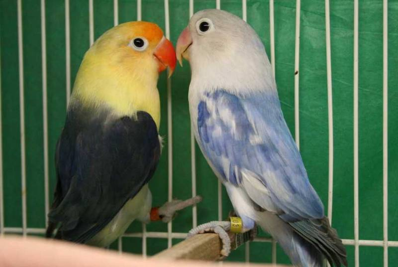 Ilustrasi Persilangan Lovebird Parblue (pinterest.co.uk)