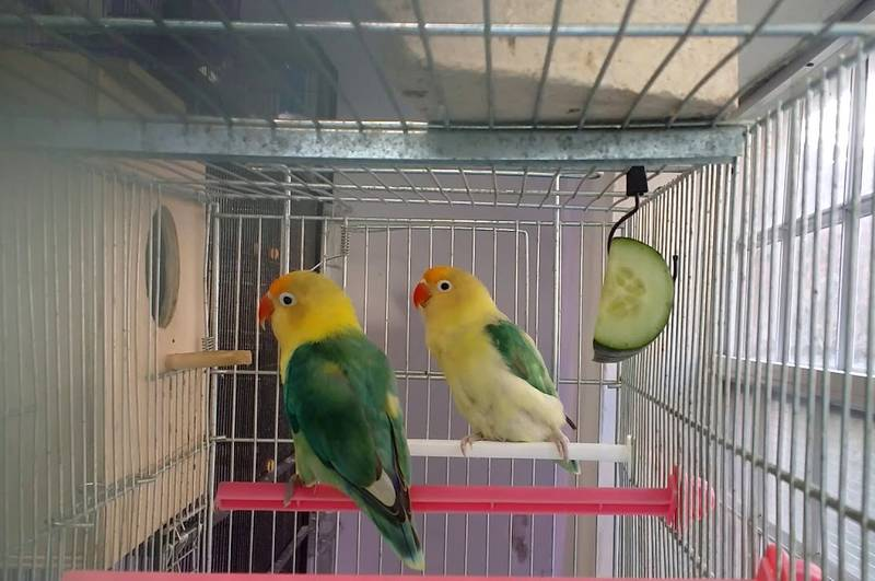 Jenis Lovebird Parblue (youtube.com)