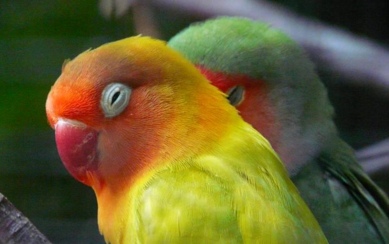 10 Penyebab Lovebird Gacor Jadi Macet Bunyi dan Cara Mengatasinya