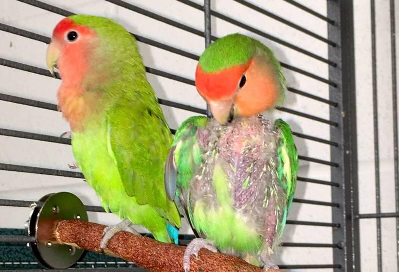 Lovebird Mencabuti Bulunya Sendiri (mickaboo.org)