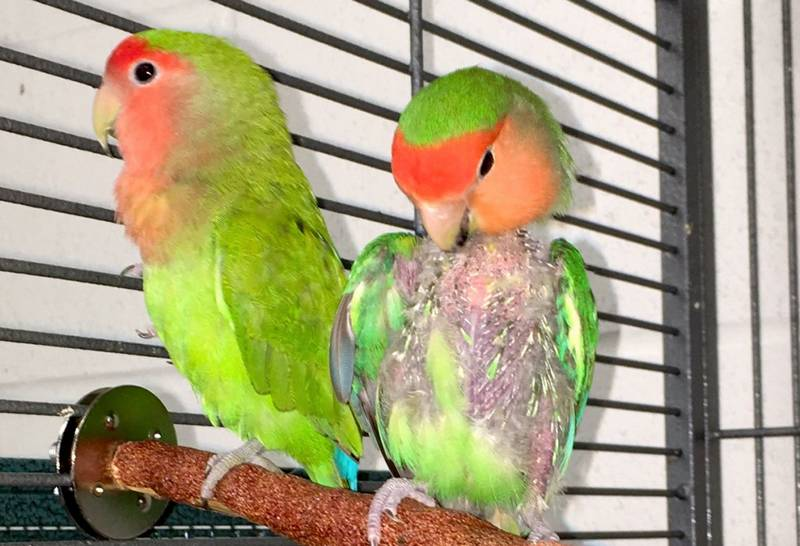 20 Penyebab dan Cara Mengatasi Lovebird Mencabuti Bulu