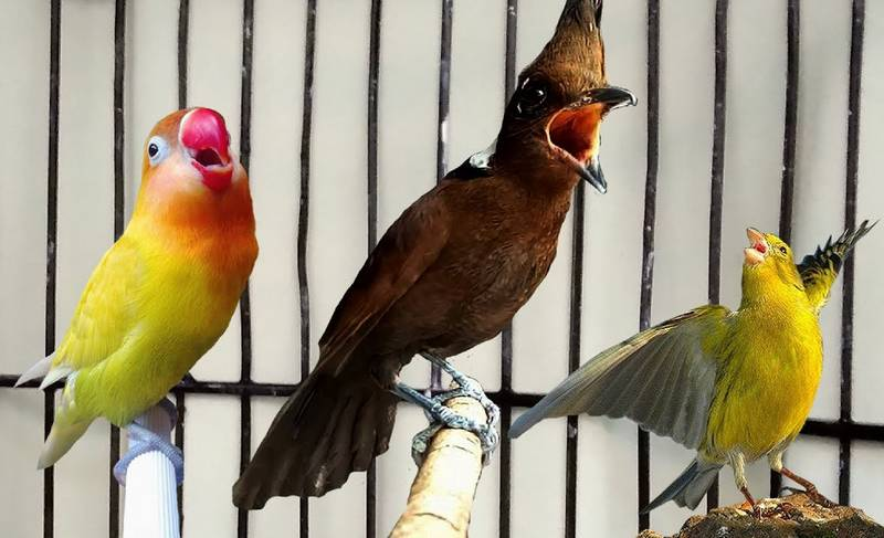 Masteran Lovebird yang Bagus (youtube.com)