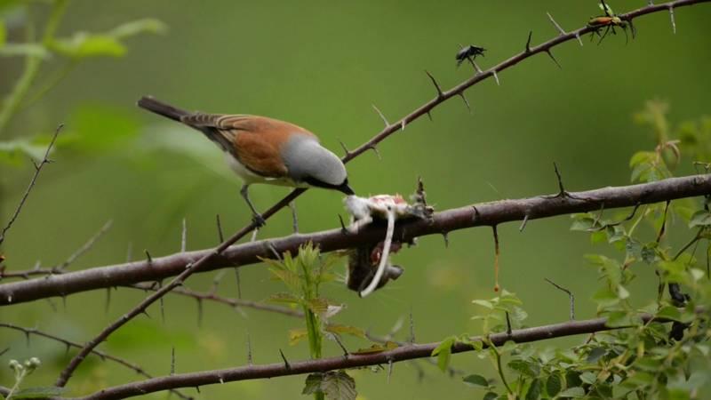 Burung Cendet Makan Tikus (youtube.com)