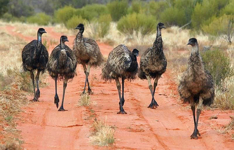 Burung Emu (flickr.com)