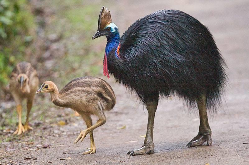 Burung Kasuari (arthurgrosset.com)