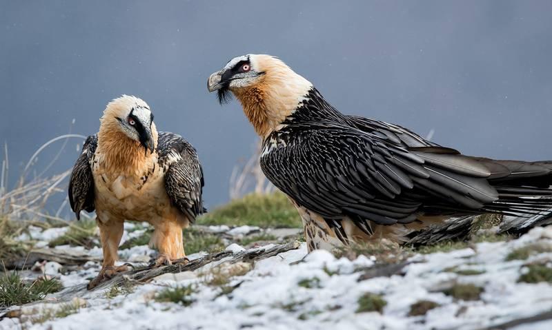 Burung Lammergeier (iyufera.com)