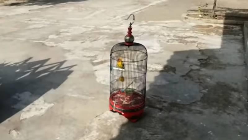 Cara Menjemur Lovebird Kusumo (youtube.com)