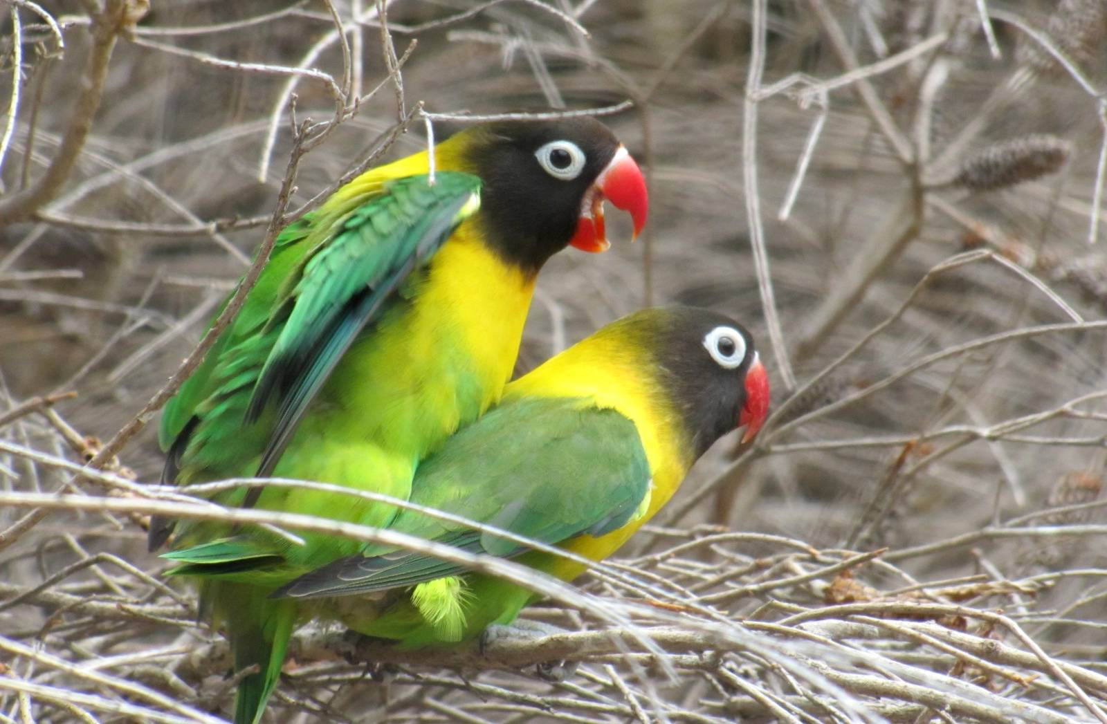 Cara Menurunkan Lovebird Overbirahi (trevorsbirding.com)
