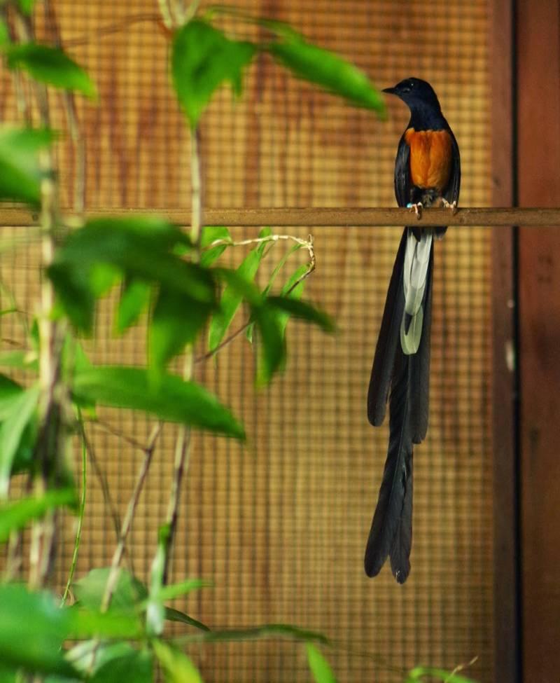 Ekor Murai Batu Panjang (davidsbirds.blogspot.com)