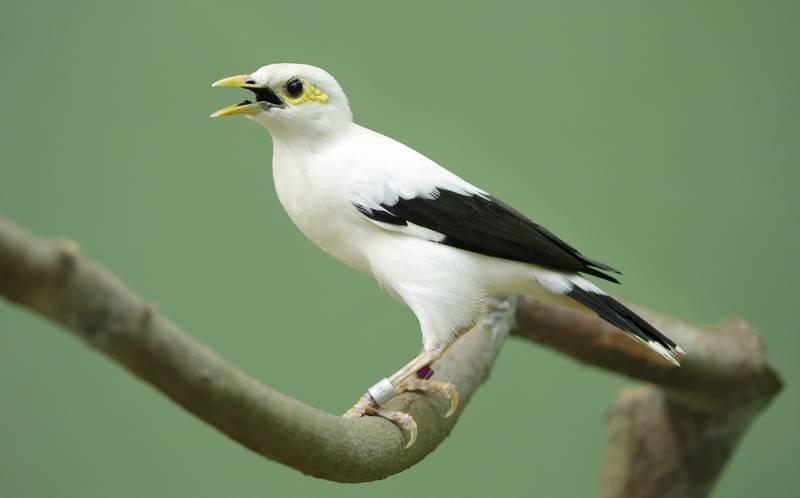Gambar Burung Jalak Putih (pinterest.com)