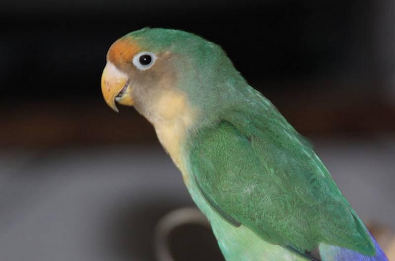 Hasil Persilangan Lovebird Klep dan Non Klep Jadi Lovebird Barong