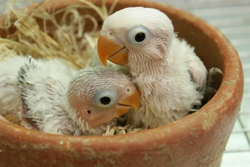 Masteran Lovebird Paud (wattabird.blogspot.com)