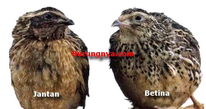 Perbedaan Burung Puyuh Jantan dan Betina (omkicau.com)