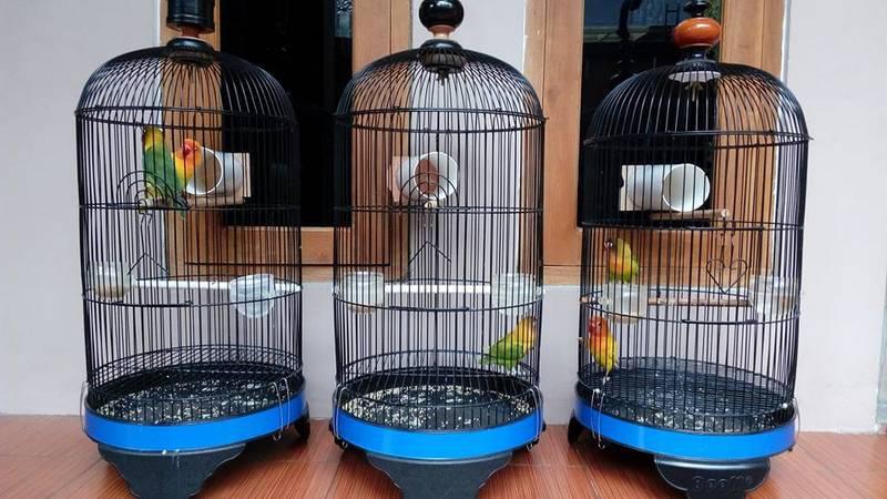 Terapi Tambah Durasi Ngekek Lovebird dengan Pipa Paralon (facebook.com-FikkyP)