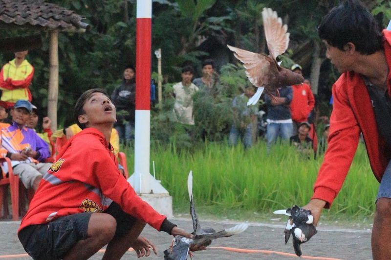 Cara Melatih Merpati Kolong (tribratanewsbantul.com)