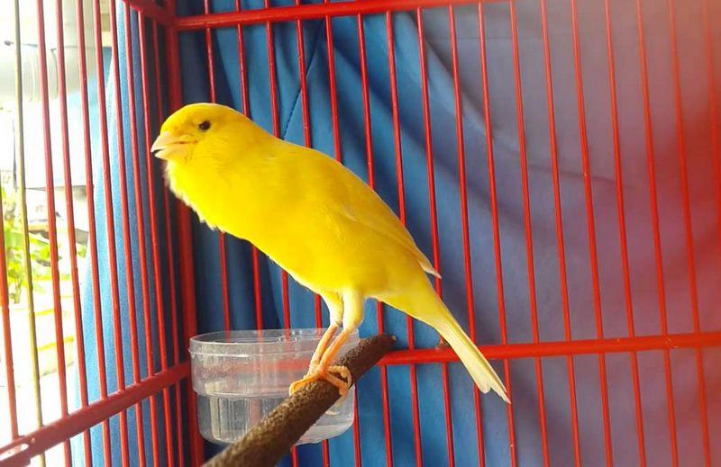 Gambar Burung Kenari F1 (youtube.com)