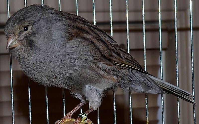 Gambar Burung Kenari Yorkshire atau Kenari Impor (softbillsforsale.com)