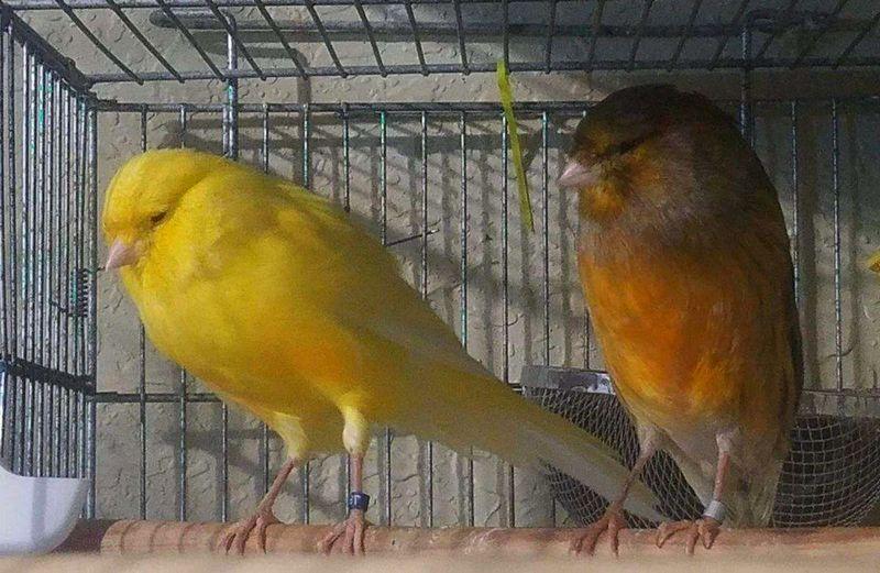 Pasangan Burung Kenari Yorkshire (birdsnow.com)
