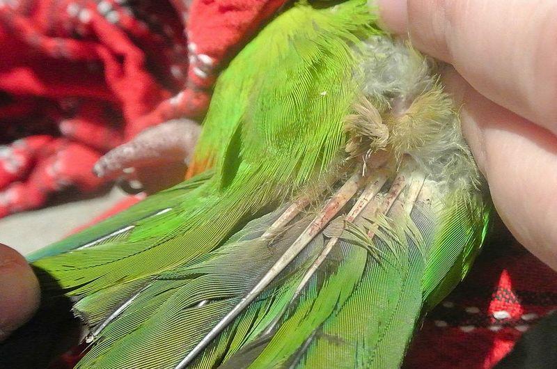 8 Penyebab Bulu Lovebird Kusam atau Rusak dan Cara Mengatasinya