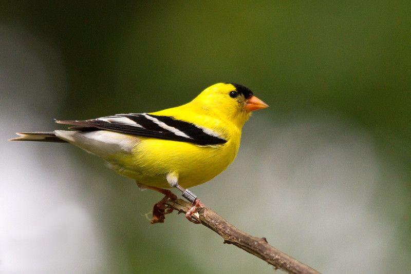 Burung American Goldfinch (birdsinmyview.com)