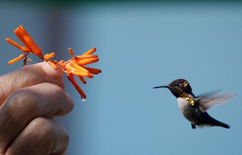 Burung Bee Hummingbird (hbw.com)