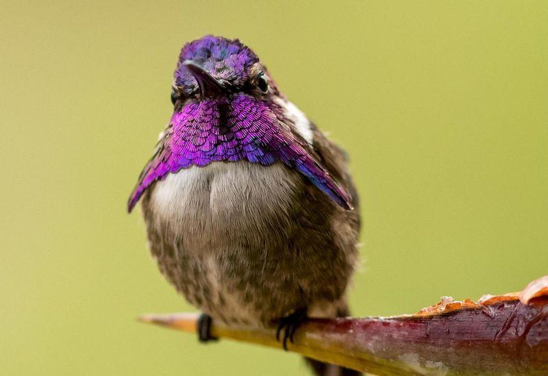 Burung Costa's Hummingbird (birdseye.photo)