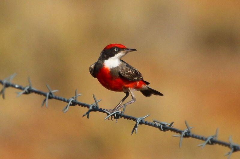 Burung Crimson Chat (rwsboa2011.blogspot.com)