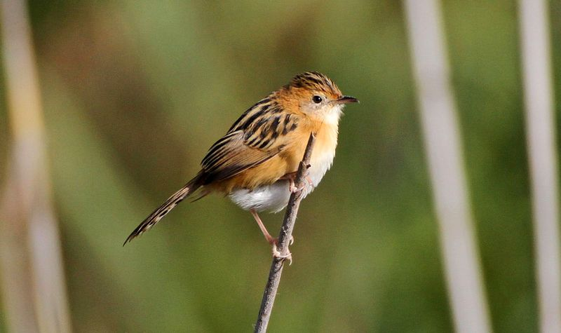 Burung Gold Headed Cisticola (pinterest.com)