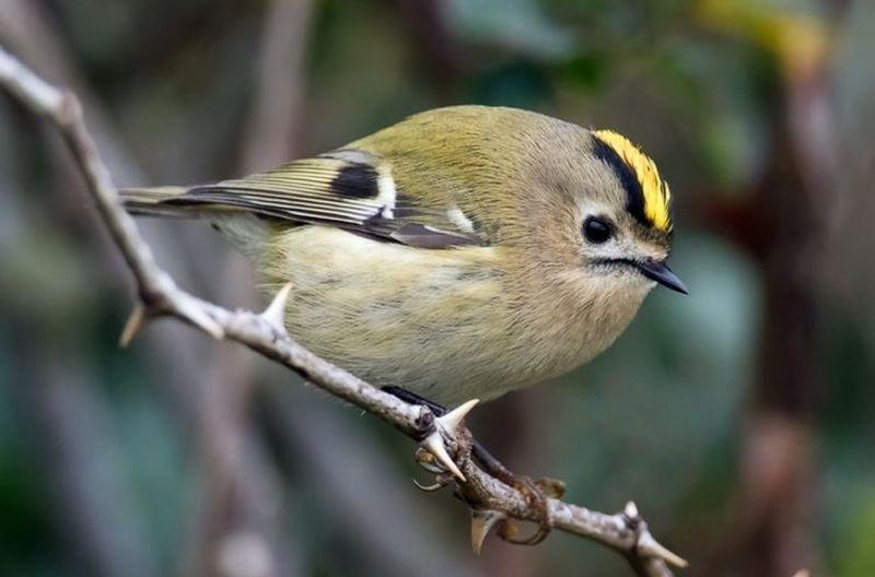 Burung Goldcrest (plugon.us)