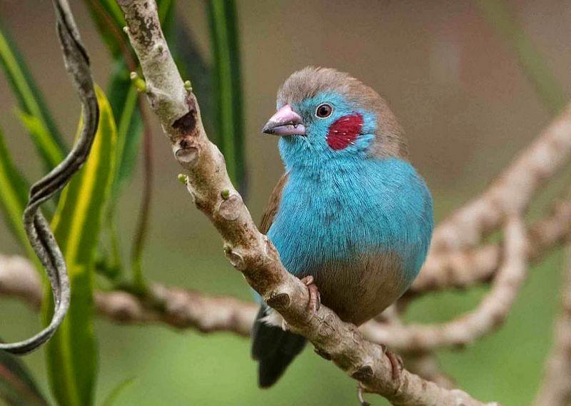 Burung Red-cheeked cordon-bleu (picdeer.com)