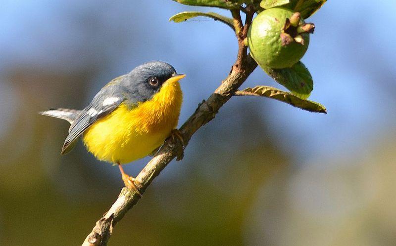 Burung Tropical Parula (pinterest.com)