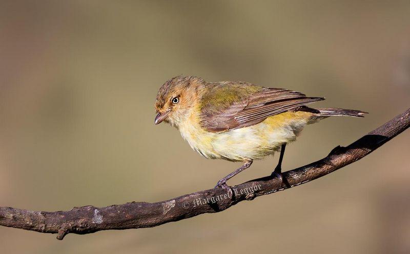 Burung Weebill (hbw.com)