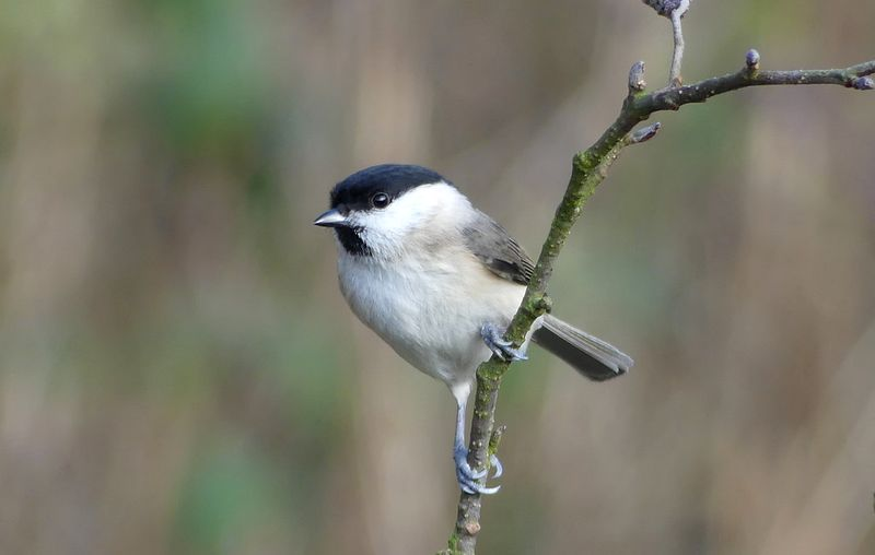 Burung Willow tit (flickr.com)