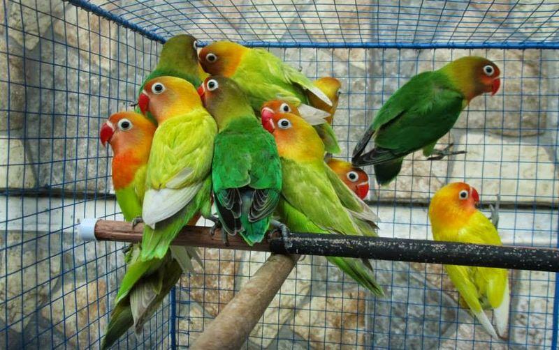 Ciri Lovebird Konslet di Ombyokan (pasarburunglampung.blogspot.com)