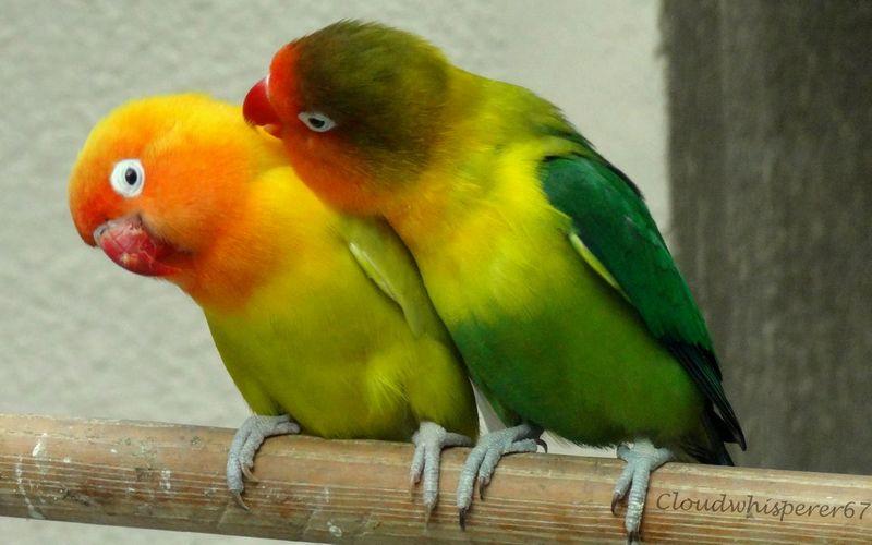 Jenis Kelamin Lovebird Untuk Lomba (sinclairfloralandrentals.com)