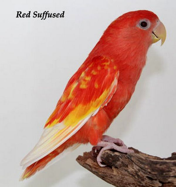 Lovebird Blorok Merah (omkicau.com)
