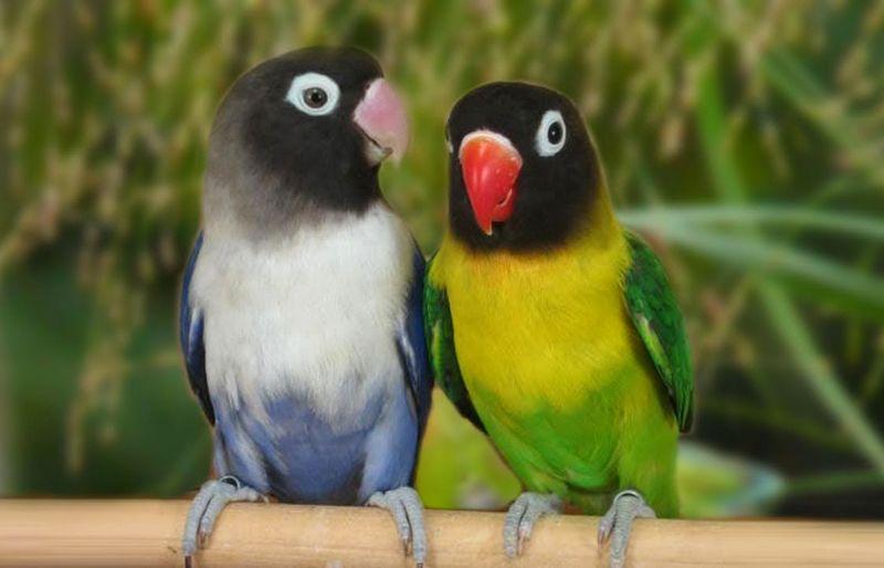 Lovebird Jantan Konslet dengan Untulan (youtube.com)