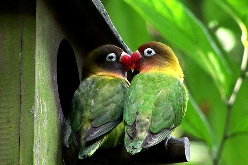 Untuk Lomba Lebih Bagus Lovebird Jantan Atau Lovebird Betina Burungnya Com