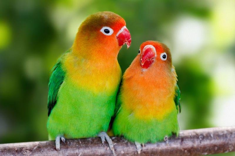 Lovebird Jantan dan Betina Untuk Lomba (chewy.com)