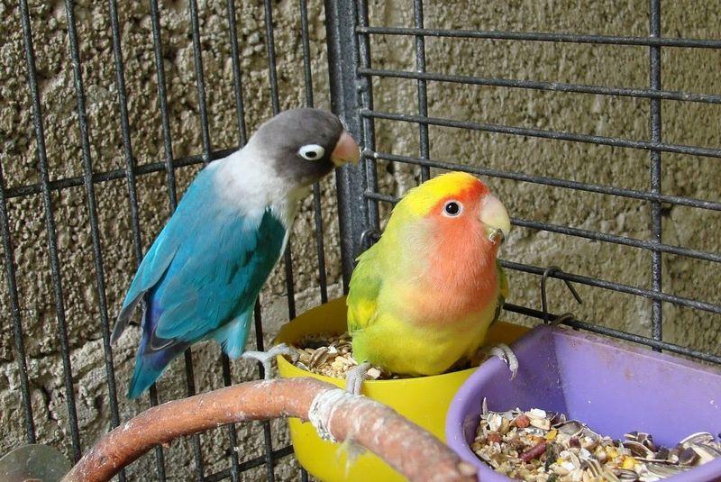 5 Cara Mencetak Lovebird Konslet Betina dengan Untulan