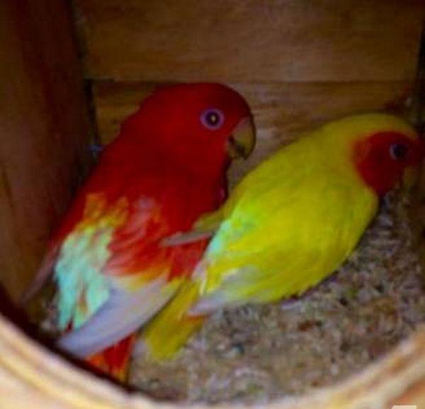 Lovebird Merah Diternak (miami-fl.americanlisted.com)
