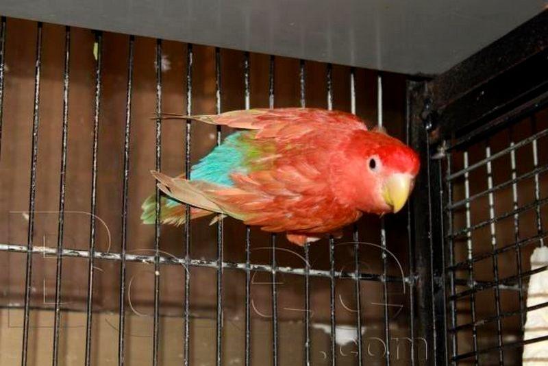 Lovebird Merah Red Suffusion (alchetron.com)
