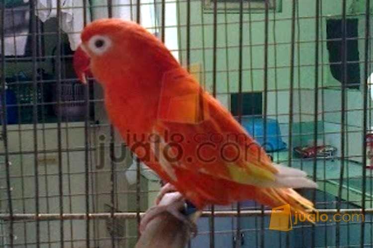 Lovebird Merah Red Suffusion (jualon.com)
