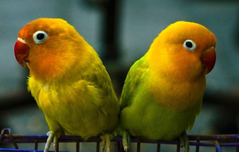 Lovebird yang Bagus untuk Lomba (smithsonianmag.com)