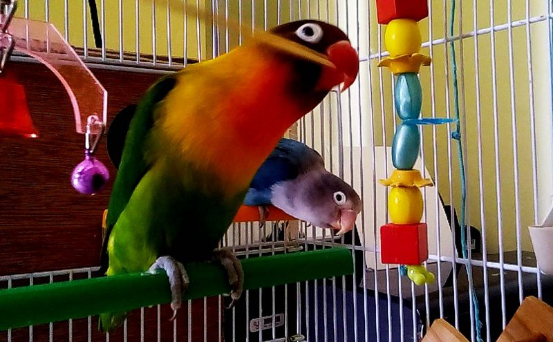 Setingan Lovebird Jantan Konslet (pinterest.com)