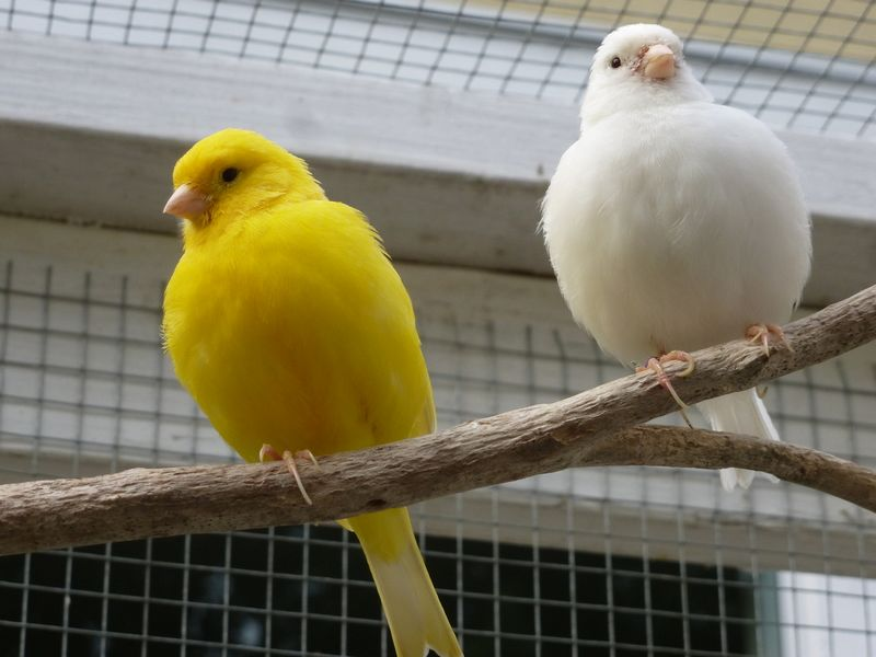 Ternak Kenari agar Cepat Bertelur (forestsedgehobbyfarm.weebly.com)